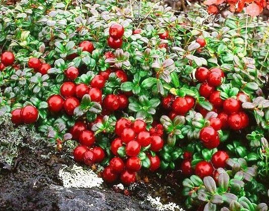 Как вырастить бруснику в саду
