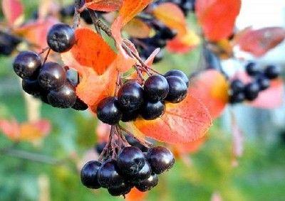 Плоды рябины очистить, промыть и... Из черноплодной рябины получается не только прекрасное варенье или компот.