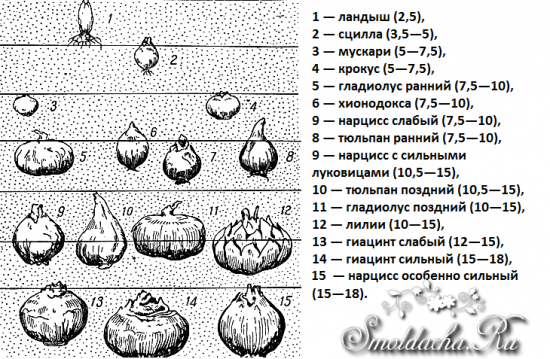 землей находятся луковицы.