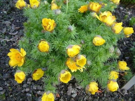 Весенний адонис (горицвет фото сортов с описанием)