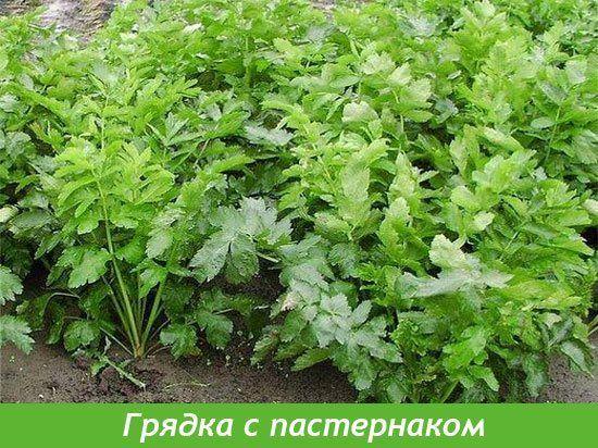 gryadka_pasternak.jpg