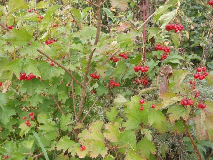 Калина красная — лечебные свойства и противопоказания ягоды. Полезные рецепты приготовления красной калины.