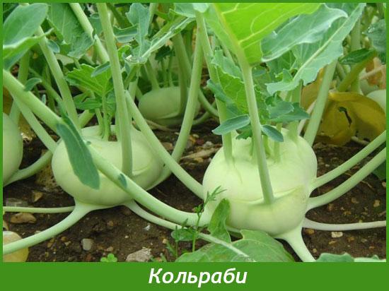Как вырастить кольраби
