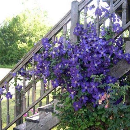 клематис на лестнице