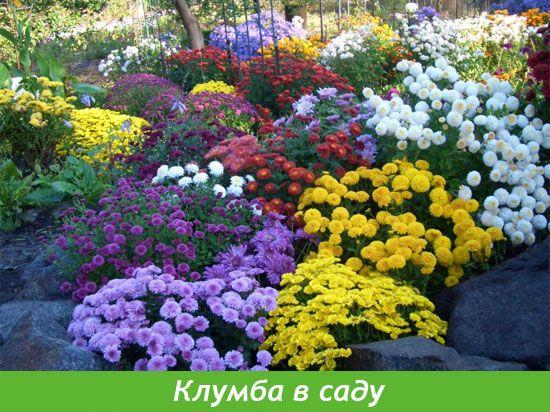 Астра в саду: посадка, уход, проблемы выращивания - статья от ... | 412x550