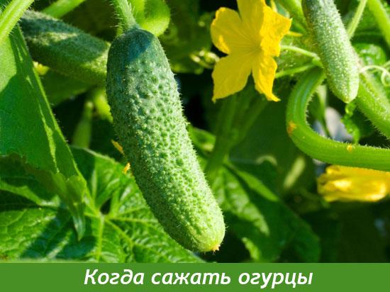 посадка семян огурцов на рассаду в апреле