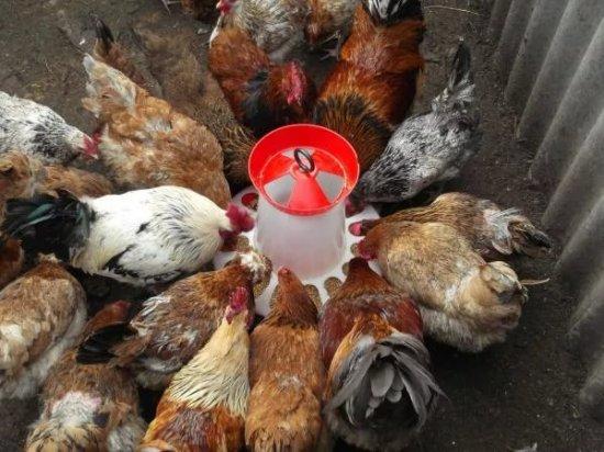 Как кормить птицу
