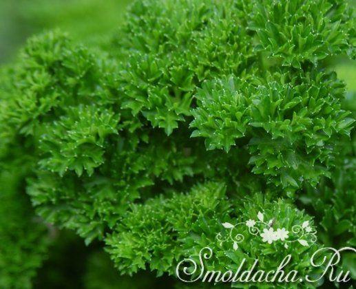 Когда сеять петрушку - Пряновкусовые растения - Смолдача