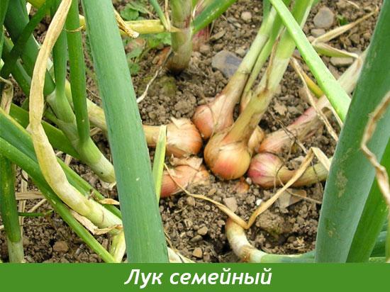Выращивание семейного лука, крупный семейный лук, резка 53