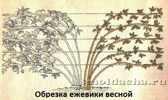 Ежевика посадка уход и выращивание 447