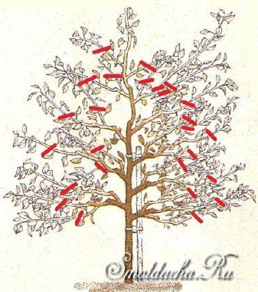 Обрезка и формирование сливы - Плодовые деревья
