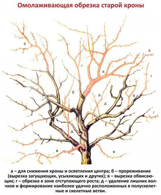 Омолаживающая обрезка старого сада: как правильно омолодить плодовые деревья