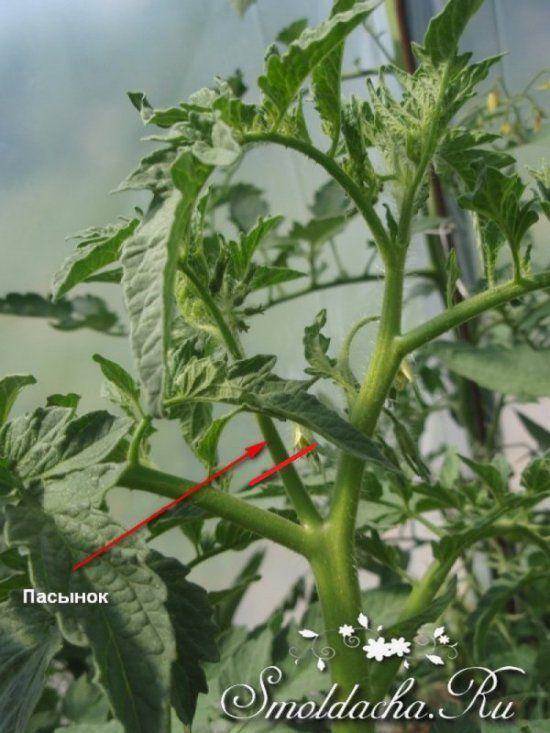 Когда и как пасынковать помидоры в теплице, на открытом участке грамотно?