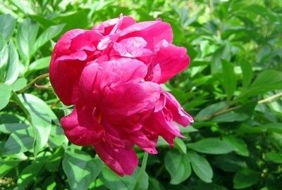 Почему не цветут фиалки - 4bc
