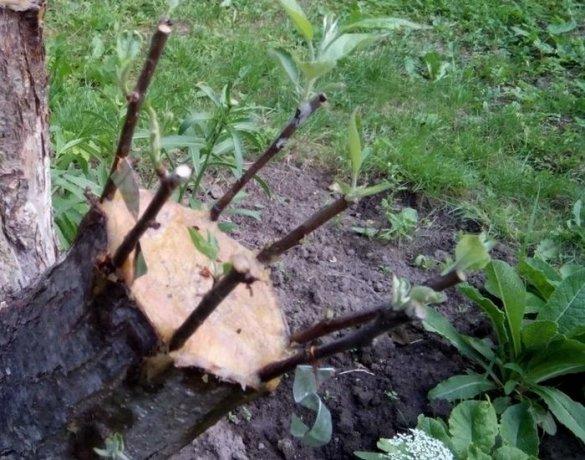 Прививка яблони весной