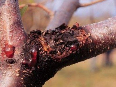 рак у плодовых деревьев
