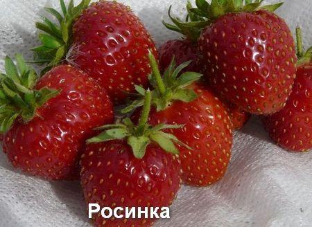 Купить саженцы клубники Альфа Центавра - Klybnichka