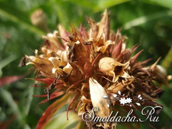 семена гвоздики для лечения от паразитов