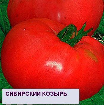 Самые старые и популярные сорта томатов