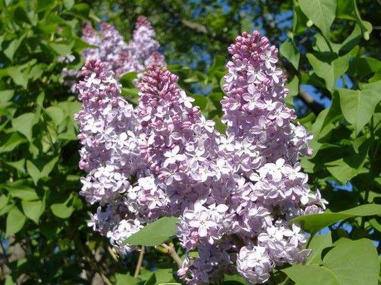 Сирень выращивание и уход - Декоративные цветы и кустарники
