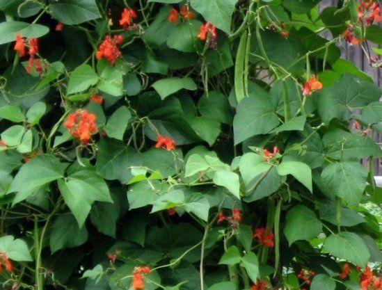 Как выращивать вьющуюся фасоль в открытом грунте