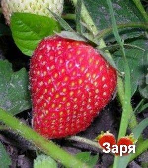 Сорта земляники садовой (клубники) - Всё для фермеров