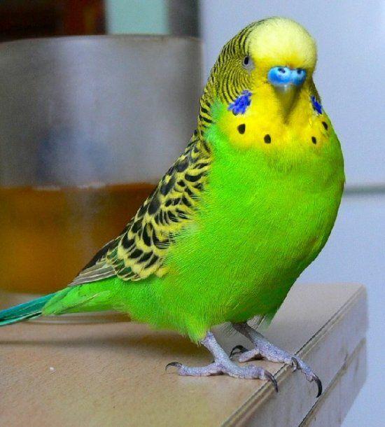 Волнистый попугайчик зеленый фото