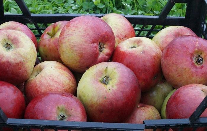 Жигулевское яблоня