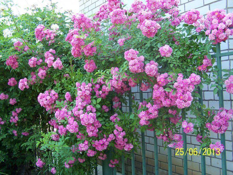 Плетистые розы где сажать 676