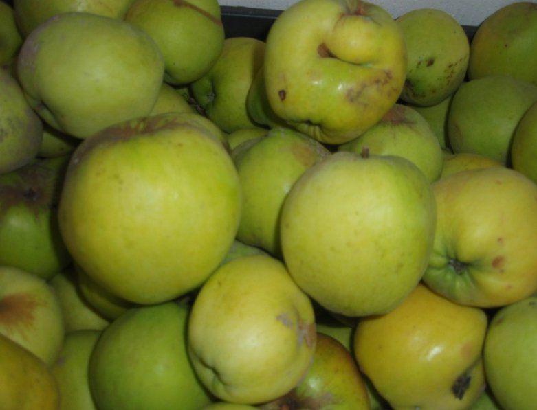 Сорт осенних зеленых яблок