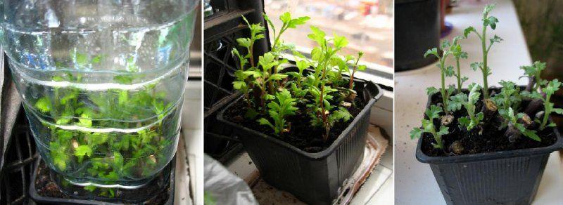 Укоренение хризантем из букета в домашних условиях 119