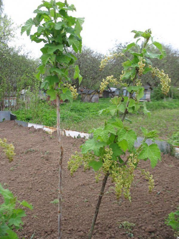 Выращивание смородины штамбовым способом 22