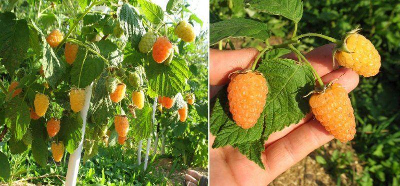 Ремонтантная малина оранжевое чудо выращивание и уход обрезка 56