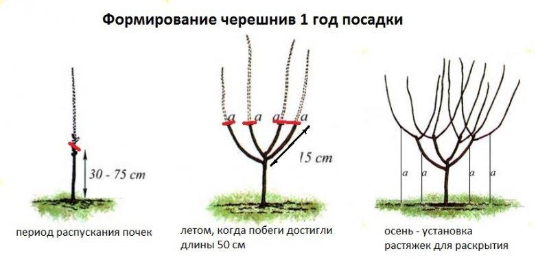 Персик воронежский кустовой как сажать 40