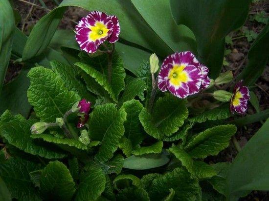 Примула выращивание из семян стратификация 30