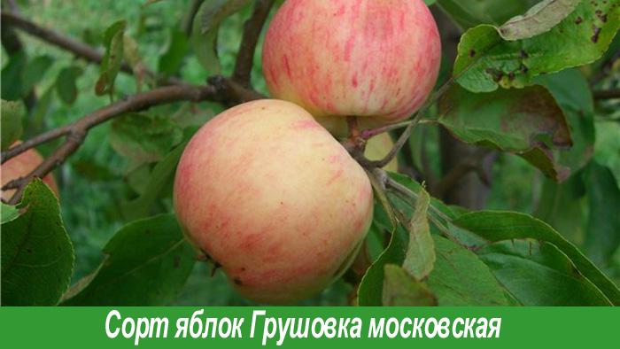 Грушовка московская сорт яблок