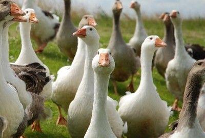 какую утку лучше выращивать на мясо