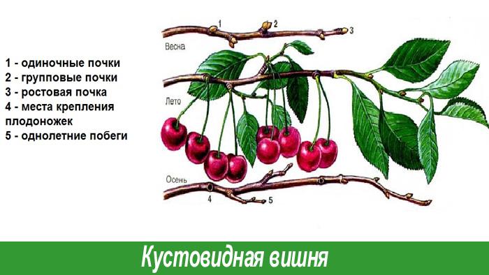 Кустовидная вишня обрезка