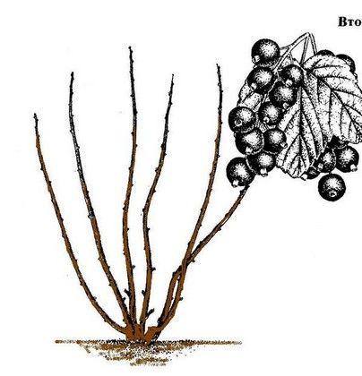 Обрезка черной смородины когда и как правильно ее делать - 2