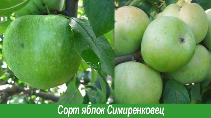 Сорт симиренковец